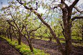 Blooming Garden And Dandelions