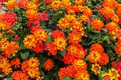 Beautiful Colorful Hedge Flower, Weeping Lantana