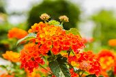 stock photo of lantana  - Beautiful Colorful Hedge Flower Weeping Lantana Lantana camara Linn in the garden