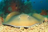 image of stingray  - Stingray  - JPG