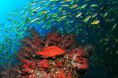 School of Snapper fish on coral reef in ocean