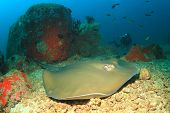 picture of stingray  - Stingray and scuba diver - JPG