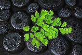 Beautiful Spa Background Of Green Twig Adiantum Fern On Zen Basalt Stones With Dew, Closeup