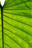 Pattern in leaf of an ornamental plant