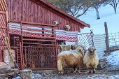 Sheeps In Front Of The Stable