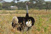 Ostrich, Ethiopia, Africa