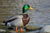 Mallard Duck Foraging At The Side Of A River
