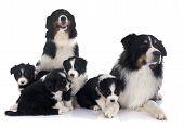 Australian Shepherd Family