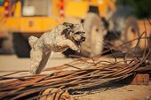 Curly Brown Dog Jumping On A Construction Site