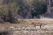 wild female tiger walking along the river, Bardia, Nepal