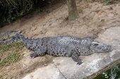The enormous crocodile is sleeping near the water.