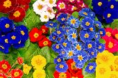 Colorful Fresh Spring Primula Flowers