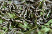 Silkworms With Mulberry Leaves