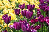 Violet And Yellow Tulips