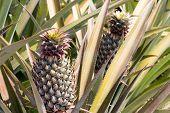 Pineapple - H