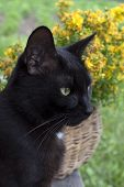 Black Cat On A Background Of Yellow Flowers Looking Away.