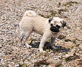 Pug On The Beach