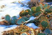 Cacti in Snow