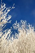 branches covered with hoarfrost against  blue sky