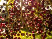 Elderberry blur