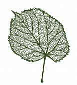 Vector linden leaf