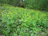 Buttercups meadow