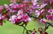 Blossoms In Apple Tree Garden.