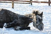Gray Pony Rolling In The Snow