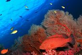 stock photo of grouper  - Grouper and fan coral underwater - JPG