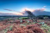 Windswept Tree On Helman Tor