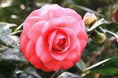 Camellia flower and buds