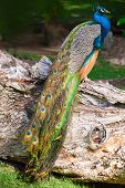Wild Male Peacock Bird Sitting On Old Dry Tree In Forest