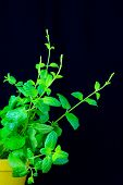 Potted Mint Fresh Green Branches Isolated On Black Background