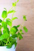 Potted Fresh Green Mint Branches Closeup