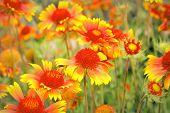 Scarlet Flowers In Garden