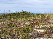 stock photo of martha  - Red and green plants grow on the sandy coast of Martha - JPG