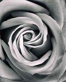 Grunge Processed Rose Close Up