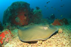 image of stingray  - Stingray and scuba diver - JPG
