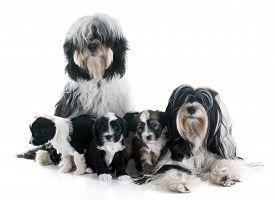 foto of tibetan  - family tibetan terrier in front of white background - JPG