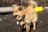 stock photo of temperance  - Beautiful cute red dog draws his good temper - JPG