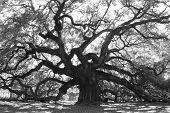 picture of angle  - Majestic live oak angle tree in black and white - JPG