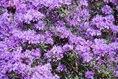 image of may-flower  - Purple rhododendron flowers closeup with pistils and petals - JPG
