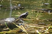 stock photo of terrapin turtle  - wild turtles are swimming in a pond - JPG