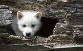 picture of white wolf  - Close up image of a young - JPG