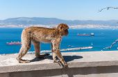 picture of gibraltar  - Barbary macaque monkey in Gibraltar on a wall - JPG