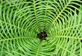 picture of fern  - Looking into the center of a fern  - JPG