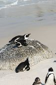 picture of jackass  - Jackass Penguins  - JPG