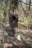 foto of hollow  - In old tree trunk during dug a deep hollow.  It is an excellent natural shelter for birds and wildlife that exist on the Danube islands. ** Note: Soft Focus at 100%, best at smaller sizes - JPG