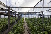 picture of tomato plant  - tomato and cucumber plants in a greenhouse - JPG