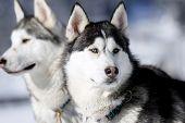 stock photo of sled dog  - Portrait of siberian husky sled dog at snowy winter - JPG